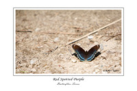 IMG_3694 - Red Spotted Purple